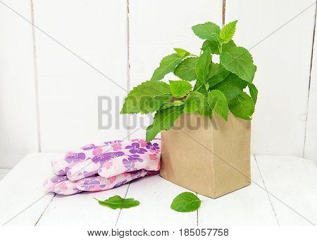 Seedlings of hydrangeas and female working gloves. Preparing for garden work