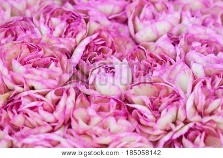 Full frame variegated pink and white carnations.