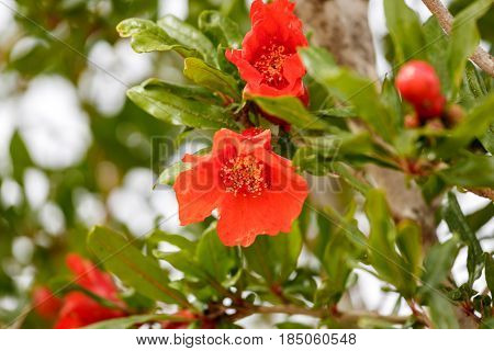 A Pomegranate red flowers on a tree