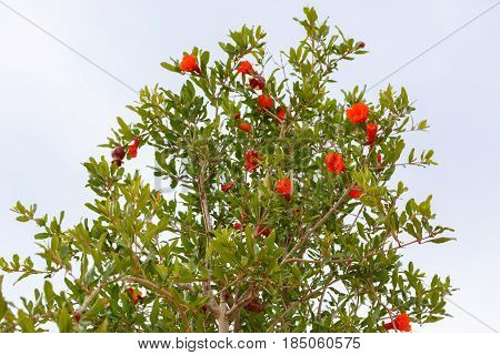 A pomegranates tree with a red flowers
