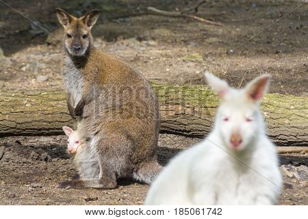 Red-necked or Bennett's wallabies - Macropus rufogriseus - wild and albino