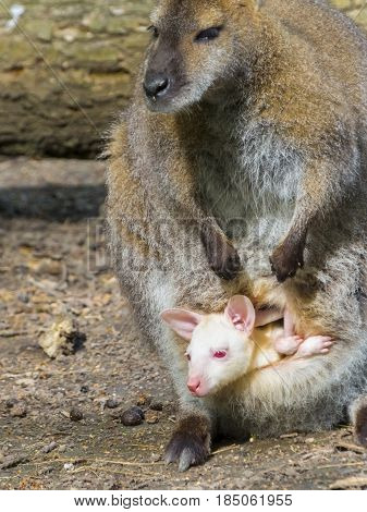 Albino baby of a gray Red-necked or Bennett's wallaby - Macropus rufogriseus