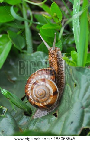 Snail crawling on green leaf in garden on rain. Snail in the natural wetland habitats