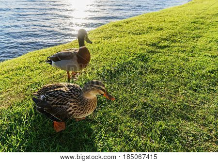 The Pacific black ducks or grey duck at Lake Taupo North Island of New Zealand