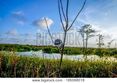 snail shell perched in a branch in the swamp