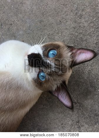A close up photograph of a siamese cat relaxing lying on the floor with eye contact