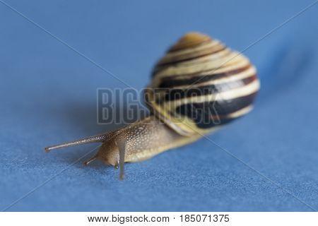Garden Snail Over Blue Background