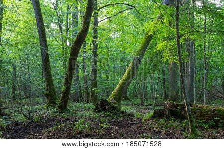 Old oak and hornbeam in natural late summer forest against juvenile stand, Bialowieza Forest, Poland, Europe