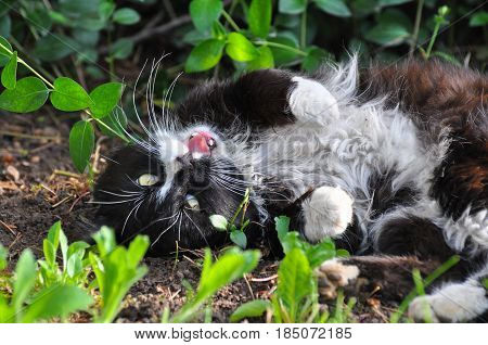 Portrait of  Norwegian Cat, Fluffy black and white cat play on the ground