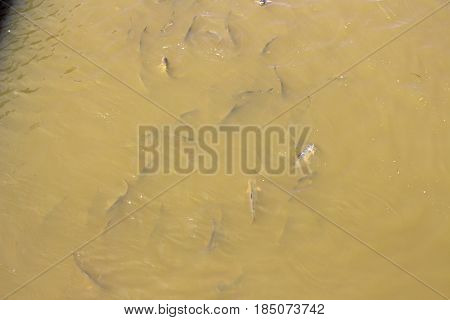 Freshwater fish species The shark catfish (Pangasiidae) has a relatively small head. Head of Dorsal straight line slope. Eyes are always above the mouth. Mouth narrower than fish The same currency Fort slender but short on big fish. The anal fin rays are