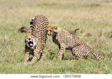 A female cheetah (Acinonyx jubatus) yawns and stretches next to her half-grown cub. Ol Pejeta Conservancy Kenya.