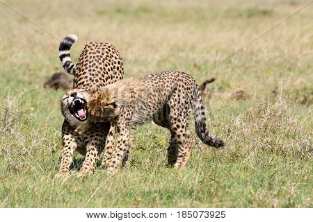 A female cheetah (Acinonyx jubatus) stretches and yawns while her cub looks into her mouth. Ol Pejeta Conservancy Kenya.