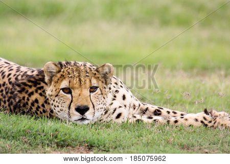 A cheetah (Acinonyx jubatus) lies down and stares at the camera. Ol Pejeta Conservancy.