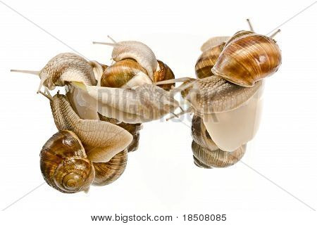 Group of Snails climbing isolated on white poster