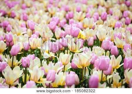 Flower river in Keukenhof park in Amsterdam area, Netherlands. Colorful tulip flowers field