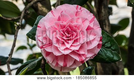 Istanbul, Turkey - April 6, 2017: Camellia Japonica flower
