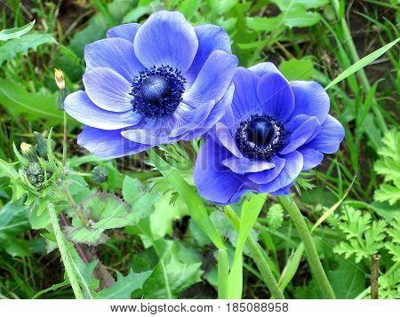 Two Beautiful Blue Crown Anemones in park in Ramat Gan Israel