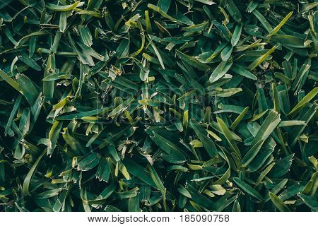 Green grass texture and background. Natural green turf. Abstract texture and background for designers. Macro and close-up view of green grass. Natural pattern.