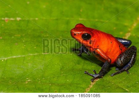 A close up of a Strawberry Poison Dart Frog isolated on a green leaf