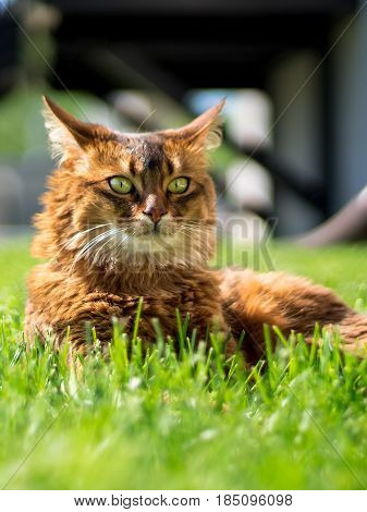 Cat lying on grass. Beautiful somali cat lying on the grass looking in the distance on a sunny day.