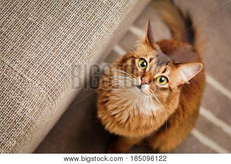 Somali Cat Looking Up. Cute purebred ruddy somali cat looking up staring at the camera.