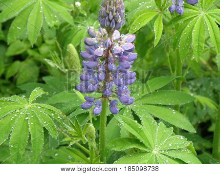 Flowering purple lupin with dew drops on it's leaves.