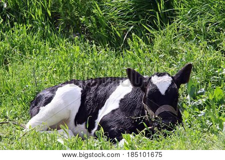 calf in a meadow on thr grass. photo