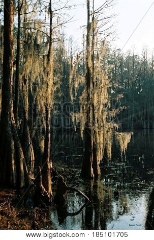 Spanish Moss glowing in sunset in swamp.