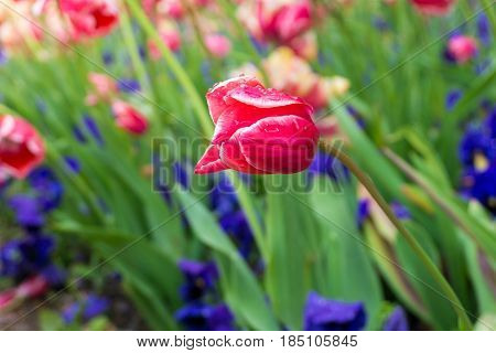 Raindrops on a Purple Flower. Close-up of a Tulip (Tulipa) on a rainy Day.  Raindrops on a Red Tulip. A Field full of Red Flowers. Garden Flowers. Spring Flowers