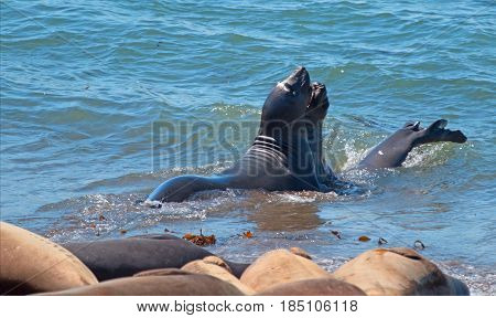 Northern Elephant Seals Fighting In The Pacific At The Piedras Blancas Elephant Seal Colony On The C