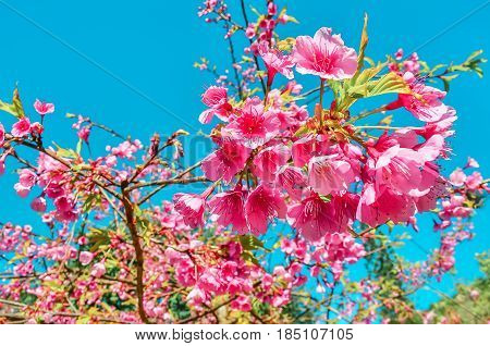 Prunus cerasoides called the wild Himalayan cherry and sour cherry is a deciduous cherry tree found in East Asia