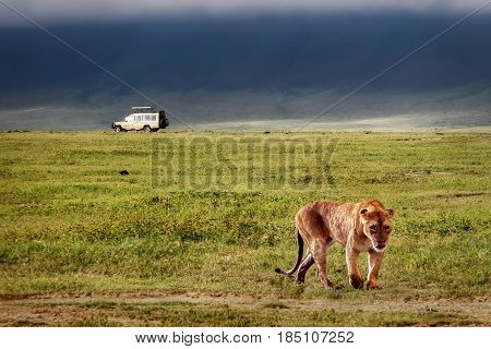 Lioness in the crater of Ngorongoro. Africa. Tanzania.