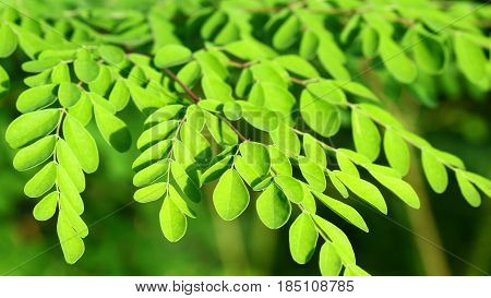 Moringa in the sun, malungay tree, healty