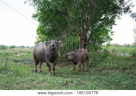 Calf Buffalo Stand Beside Breeder Buffalo Both Standing Looking Front Of Them. This Image For Animal