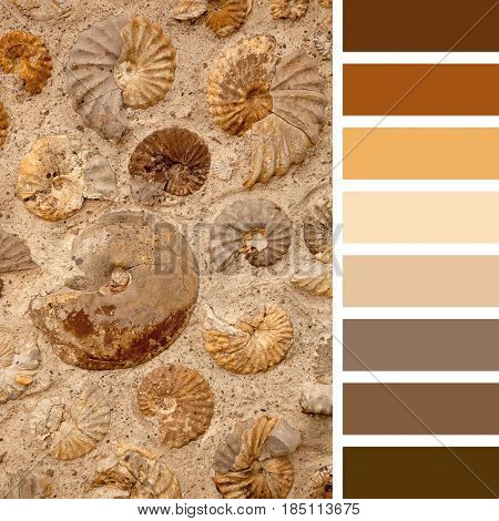 A background of numerous ammonite fossils, in various sizes, in a colour palette with complimentary colour swatches.