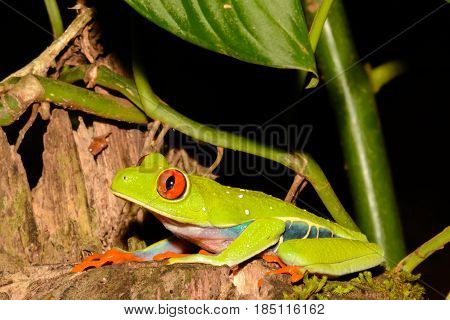 A close up of a Red-eyed Tree Frog in Costa Rica