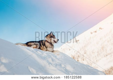 Alaskan Malamute, lies in the sun in the snow in winter against the background of mountains, sunlight. On open air. Concept of walking with a dog in the fresh air.