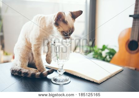 The cat drinks water from a glass. Devon rex cat lapping water. The water is clean clear
