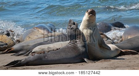 Northern Elephant Seals fighting in the Pacific at the Piedras Blancas Elephant seal colony on the Central Coast of California USA
