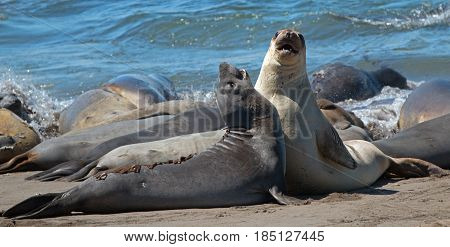 Young Male Elephant Seals fighting in the Pacific at the Piedras Blancas Elephant seal colony on the Central Coast of California USA