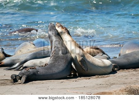 Sub-Adult Northern Elephant Seals mock fighting in the Pacific at the Piedras Blancas Elephant seal colony on the Central Coast of California USA