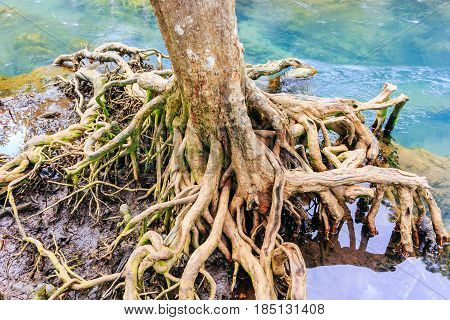 The root and crystal stream. freshwater meets with seawater of Tha Pom Khlong Song Nam Kra-bi province Thailand