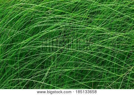 High green grass in a meadow. Close up of fresh grass on the field. Horizontal photo without people. Green grass background texture for design, catalog, menu, billboards, banner.