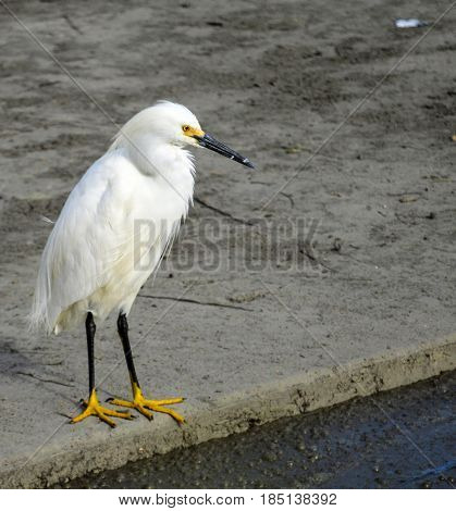 A Great Egret (ardea alba) contmplates feeding on the edge of a polluted canal.