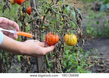 Scientist injecting chemicals into red tomato GMO. Concept for chemical GMO or GM food. Genetically modified food advantages and disadvantages.