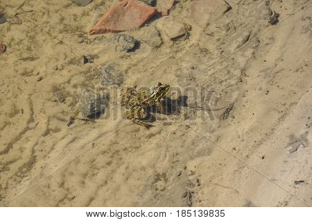 Frog green and brown color is sitting in the river water on the sand and stones