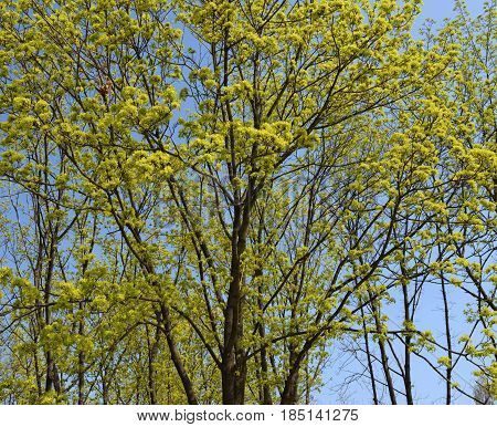 Norway Maple Trees In Bright Sunlight Of Early Spring.