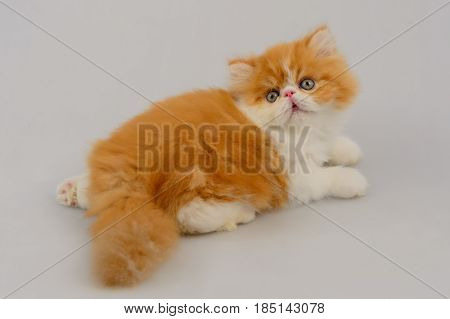 Exotic Longhair Cat On White Background, Red Tabby And White
