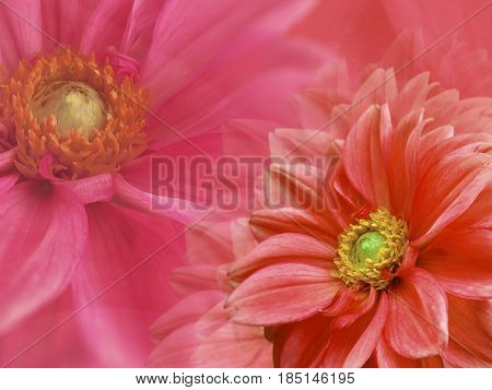 dahlia red flowers on red blurred background . Closeup. Bright floral composition card for the holiday. Nature.