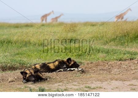 Two African wild dogs (Lycaon pictus) nap in the foreground while giraffes (Giraffa camelopardalis) process in the background. Ol Pejeta Conservancy Kenya.